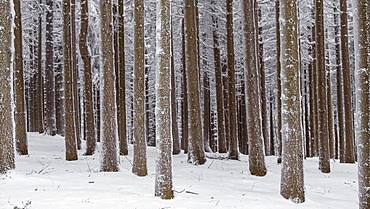 Snow-covered tree trunks in the forest, spruces (ficus) with snow, nature park Jauerling, Wachau, Lower Austria, Austria, Europe