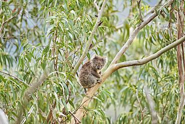 Koala (Phascolarctos cinereus), sitting in an Eucalyptus tree, Great Otway National Park, Victoria, Australia, Oceania