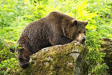 European Brown bear (Ursus arctos), lying on rocks, Bavarian Forest National Park, Bavaria, Germany, Europe