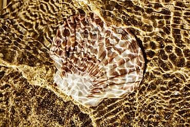 Mussel shell, fan shell lies in the shallow water on the beach in the sea, reflections by sunlight, Portbail, Normandy, France, Europe