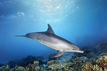 Bottlenose dolphin (Tursiops truncatus), female, swims under water surface in sunshine over coral reef, Red Sea, Egypt, Africa