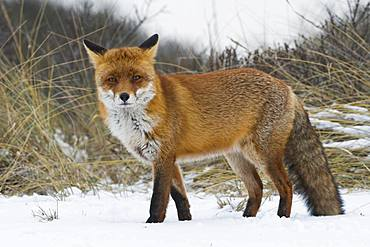 Red fox (Vulpes vulpes) in the snow, direct view, North Holland, Netherlands