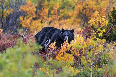 American Black Bear (Ursus americanus) in an autumnal bush, Glacier National Park, Montana, USA, North America