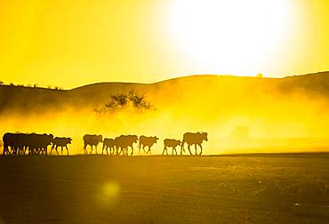 Silhouettes of cattle, herd walking in dusty savannah at sunset, Damaraland, Namibia, Africa