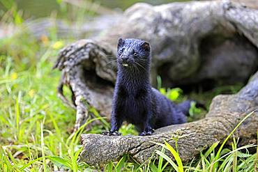 American Mink (Mustela vison), adult, alert, Pine County, Minnesota, USA, North America
