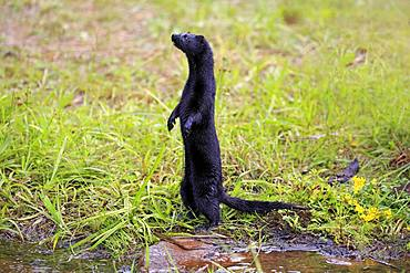 American Mink (Mustela vison), adult, alert, standing upright on water, Pine County, Minnesota, USA, North America
