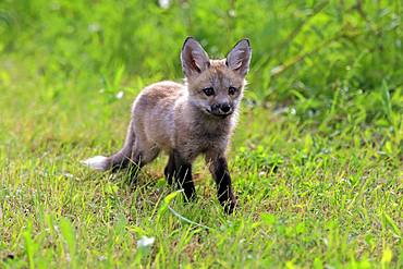 Eastern American Red Fox (Vulpes vulpes fulvus), young animal running in the meadow, Pine County, Minnesota, USA, North America