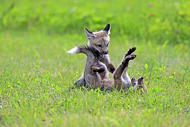 American red foxes (Vulpes vulpes fulvus), young animals playing on a meadow, social behaviour, Pine County, Minnesota, USA, North America
