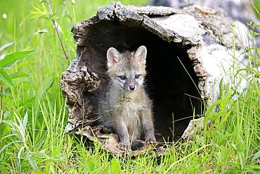 Gray fox (Urocyon cinereoargenteus), young animal sitting in a hollow tree trunk, Pine County, Minnesota, USA, North America