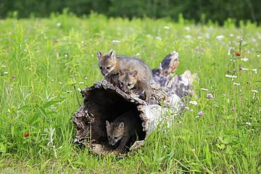 Gray foxes (Urocyon cinereoargenteus), three young animals playing on a hollowed tree trunk in flower meadow, Pine County, Minnesota, USA, North America