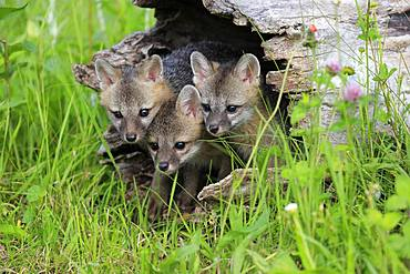 Gray foxes (Urocyon cinereoargenteus), three young animals looking curiously from a hollowed tree trunk in a flower meadow, Pine County, Minnesota, USA, North America