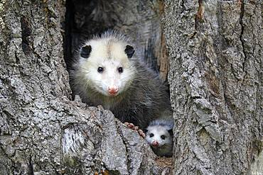 Virginia Opossum (Didelphis virginiana), adult with young animal looks curious from tree hole, Pine County, Minnesota, USA, North America