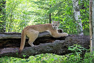 Cougar (Puma concolor), adult, alert, lying on tree trunk, Pine County, Minnesota, USA, North America