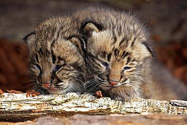 Bobcat (Lynx rufus), two kittens looking from animal husbandry, Portrait, Pine County, Minnesota, USA, North America