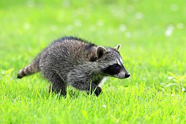 Raccoon (Procyon lotor), young animal running on grass, Pine County, Minnesota, USA, North America