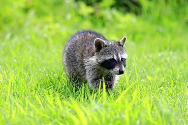 Raccoon (Procyon lotor), young animal stands in meadow, Pine County, Minnesota, USA, North America