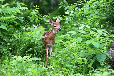 White-tailed deer (Odocoileus virginianus), young animal, ten days, in the bushes, Pine County, Minnesota, USA, North America
