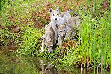 Gray wolves (Canis lupus), three young animals at the waterfront embankment, Pine County, Minnesota, USA, North America