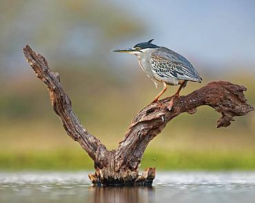Striated Heron (Butorides striata) stands on deadwood in water, Kwazulu-Natal, South Africa, Africa