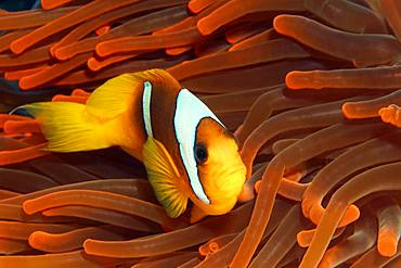 Red Sea clownfish (Amphiprion bicinctus) in Magnificent sea anemone (Heteractis magnifica) red, Red Sea, Egypt, Africa