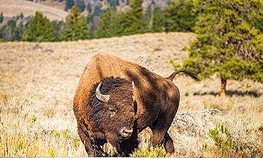American Bison (Bison bison), Yellowstone National Park, Wyoming, USA, North America