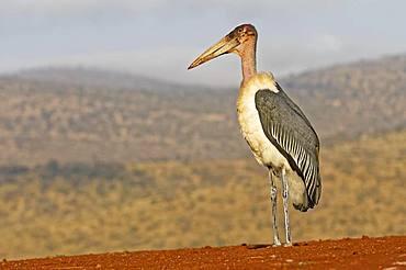 Marabou stork (Leptoptilos crumeniferus), KwaZulu-Natal, South Africa, Africa