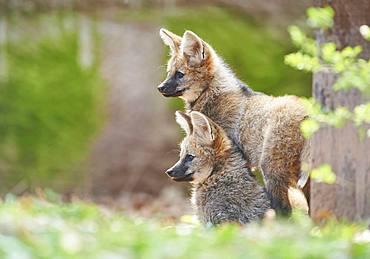Maned wolf (Chrysocyon brachyurus), cubs in spring, captive, Germany, Europe