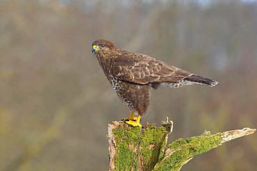 Steppe buzzard (Buteo buteo) adult bird standing on moss-covered tree stump, North Rhine-Westphalia, Germany, Europe