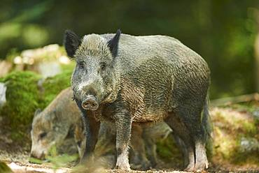 Wild boar (Sus scrofa) in a forest, Bavarian Forest National Park, Bavaria, Germany, Europe