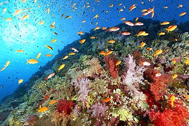 Coral reef, reef waste densely overgrown with many different Soft corals (Alcyonacea), stony corals (Scleractinia) and Anthias (Anthiinae), Red Sea, Egypt, Africa