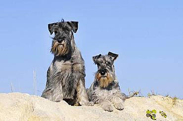 Two Schnauzers, pepper-salt, on sand dune, Austria, Europe