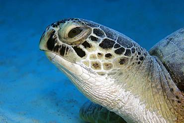 Green turtle (Chelonia mydas) also, Portrait from front, Red Sea, Egypt, Africa