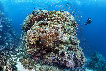 Diver, huge coral block from different stony corals (Scleractinia), swarm Anthias (Anthiinae) Red Sea, Egypt, Africa