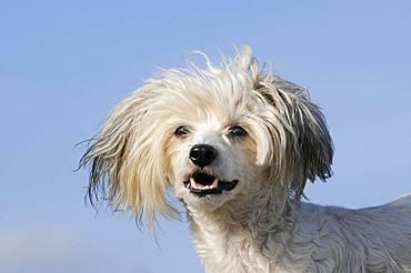 Chinese Crested Hairless Dog, animal portrait, Austria, Europe