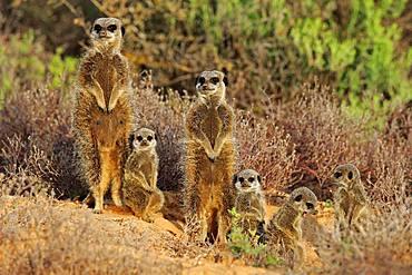 Meerkats (Suricata suricatta), adult with young animals, Oudtshoorn, West Cape, South Africa, Africa