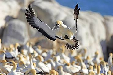 Cape Gannet (Morus capensis), adult flying, approach over bird colony, Lamberts Bay, Western Cape, South Africa, Africa