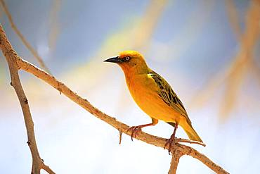 Cape Weaver (Ploceus capensis), adult male, sits on branch, Little Karoo, Western Cape, South Africa, Africa