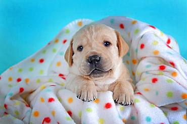 Labrador Retriever, yellow, puppy 3 weeks, lying on colorful blanket, Austria, Europe