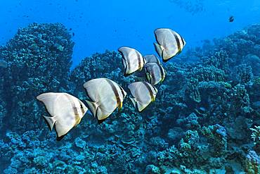 Small swarm Longfin Batfishes (Platax teira) swims over coral reef, Red Sea, Egypt, Africa