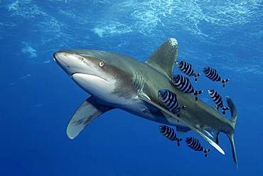 Oceanic whitetip shark (Carcharhinus longimanus) with Pilot Fish (Naucrates ductor) swims under sea surface in the open sea, Red Sea, Egypt, Africa