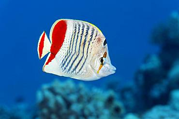 Eritrean butterflyfish (Chaetodon paucifasciatus) swims over coral reef, Red Sea, Egypt, Africa