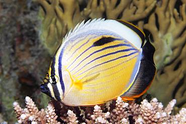 Blacktail butterflyfish (Chaetodon austriacus) floats over Acropora Coral (Acroporidae), Red Sea, Egypt, Africa