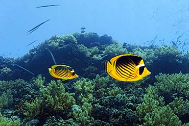Diagonal Butterflyfish (Chaetodon fasciatus) swims over coral reef, Red Sea, Egypt, Africa