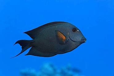 Striated surgeonfish (Ctenochaetus striatus) swims over coral reef, Red Sea, Egypt, Africa