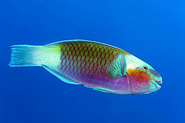 Bullethead parrotfish (Chlorurus sordidus) swims in the open sea, Red Sea, Egypt, Africa