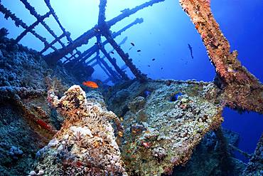 Overgrown shipwreck of the Numidia, sunken 20.07.1901, Vermillion seabass or (Cephalopholis miniata), sun, backlight, Red Sea, Big Brother Island, Brother Islands, El Alkhawein, Egypt, Africa