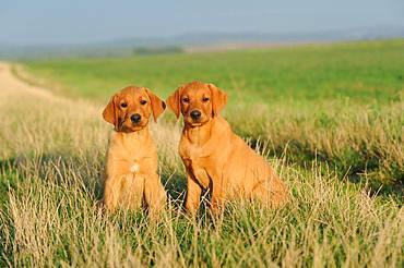 Labrador Retriever, yellow, puppies 9 weeks, sitting next to each other, Austria, Europe