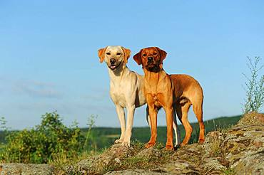 Labrador Retriever, yellow, males, standing on rocks, Austria, Europe