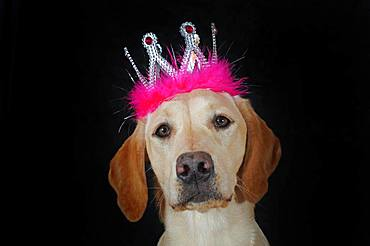 Labrador Retriever, yellow, bitch, with crown on head, Austria, Europe