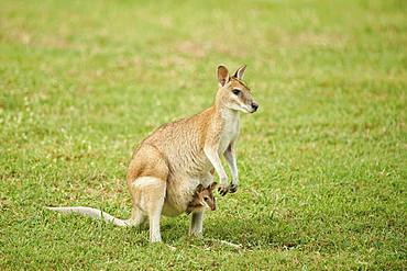 Agile wallaby (Macropus agilis), mother with her young animal in a kangaroo pouch on a meadow, Queensland, Australia, Oceania